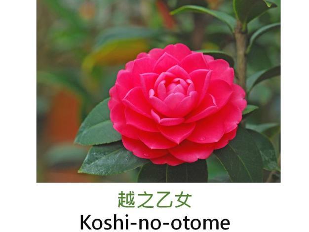 越之乙女Koshi-no-otome.JPG