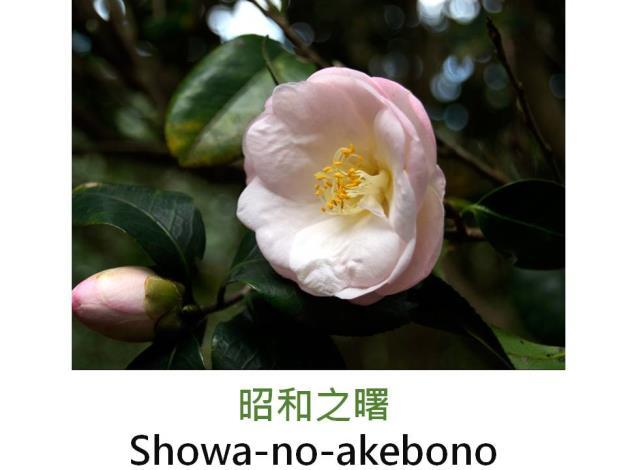 昭和之曙Showa-no-akebono.JPG