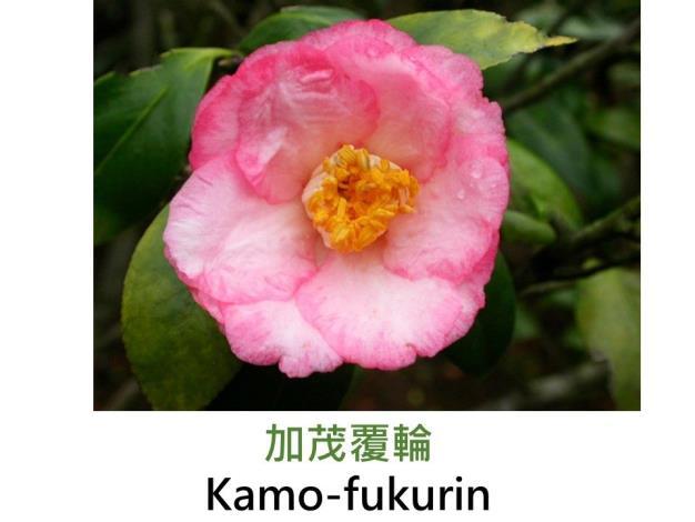 加茂覆輪Kamo-fukurin.JPG