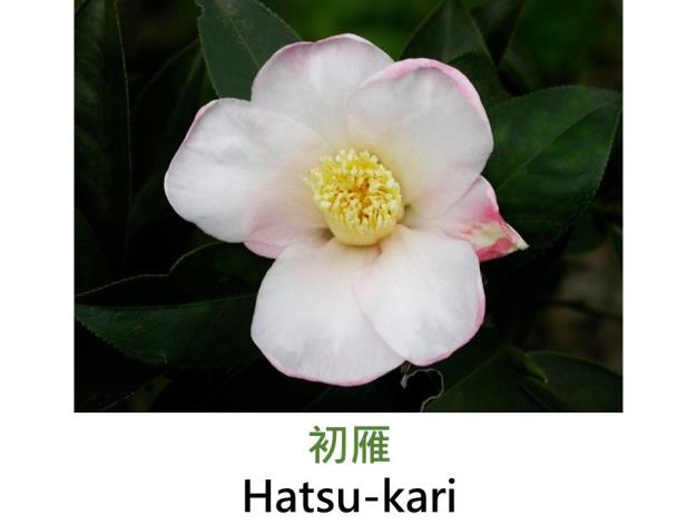 初雁Hatsu-kari.JPG