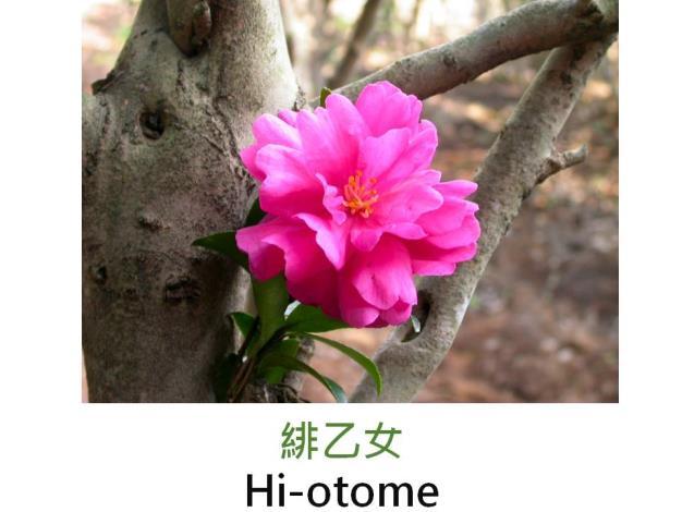 緋乙女Hi-otome.JPG