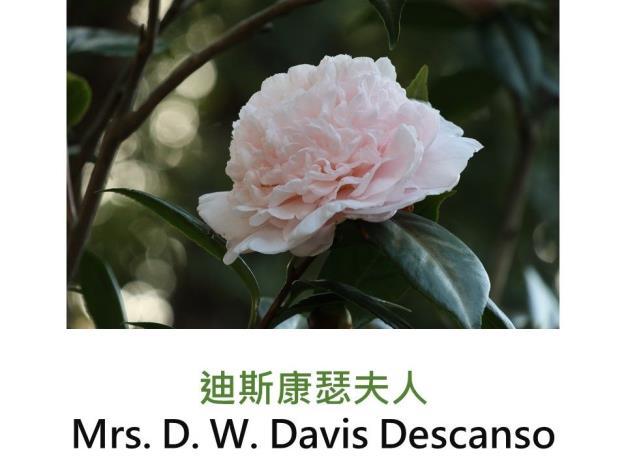 玻璃花(迪斯康瑟夫人)