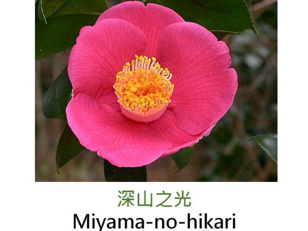 深山之光Miyama-no-hikari.JPG