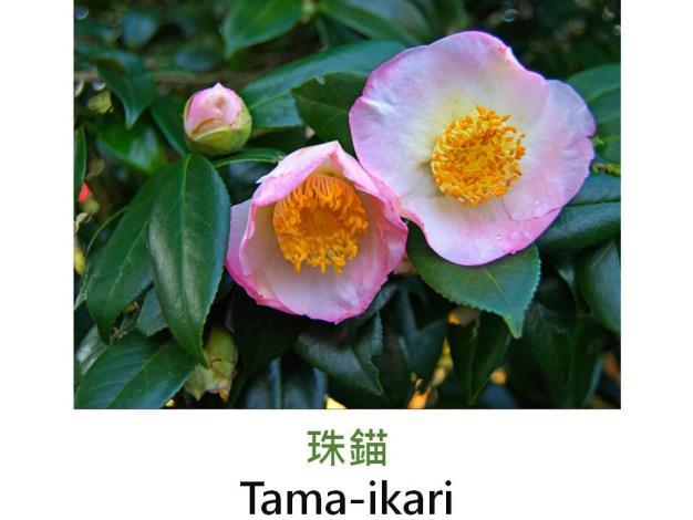 珠錨Tama-ikari.JPG