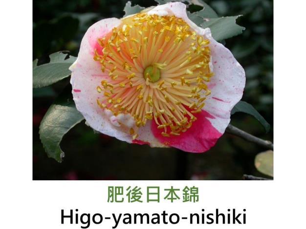 肥後日本錦Higo-yamato-nishiki.JPG