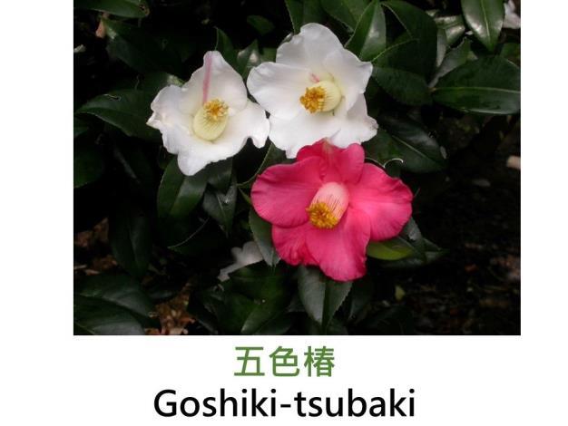 五色椿Goshiki-tsubaki.JPG
