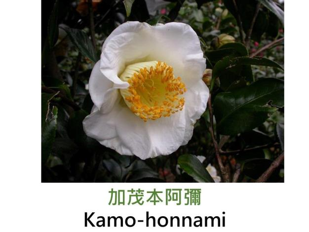 加茂本阿彌Kamo-honnami.JPG
