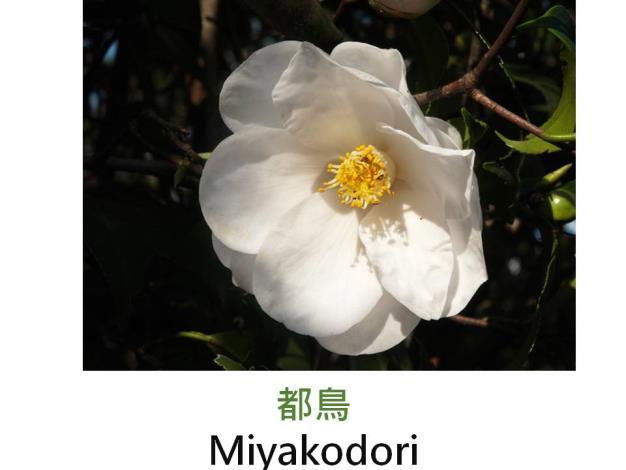都鳥Miyakodori.JPG
