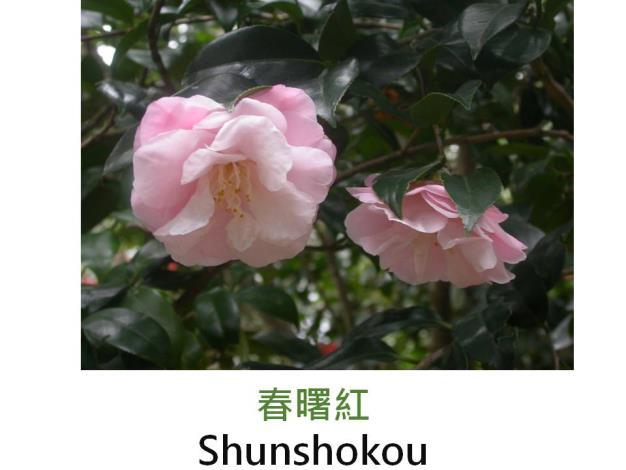 春曙紅Shunshokou.JPG