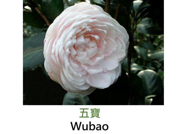 五寶Wubao