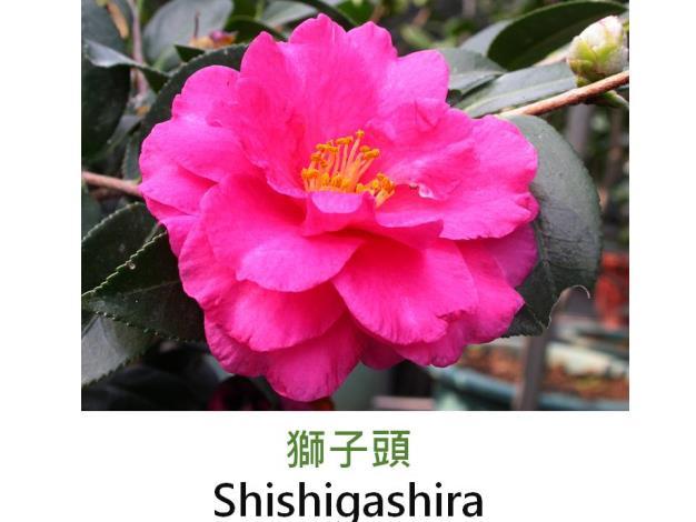 獅子頭Shishigashira.JPG
