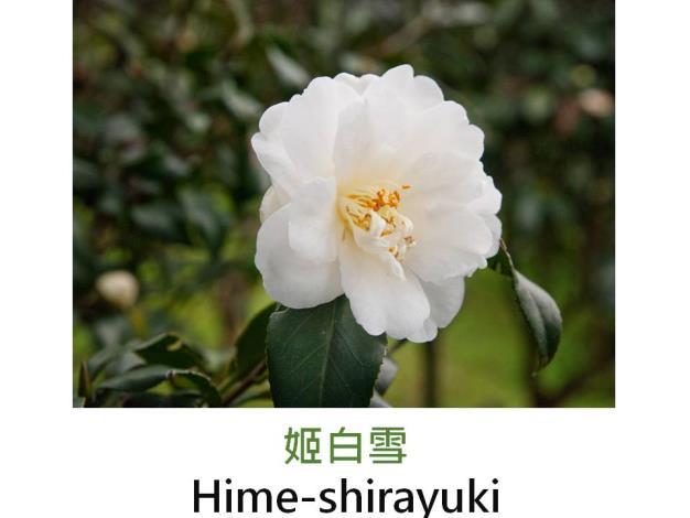 姬白雪Hime-shirayuki.JPG