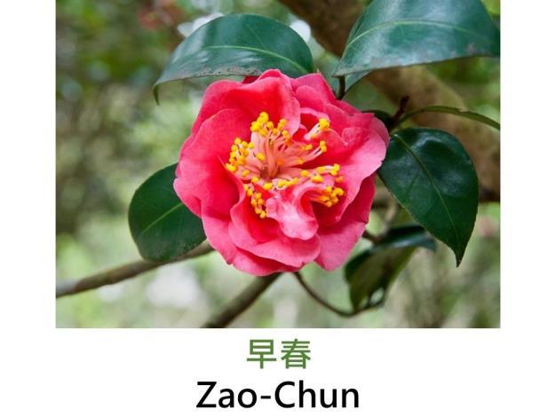 早春Zao-Chun.JPG
