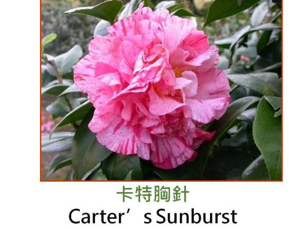 卡特胸針Carter's Sunburst.JPG