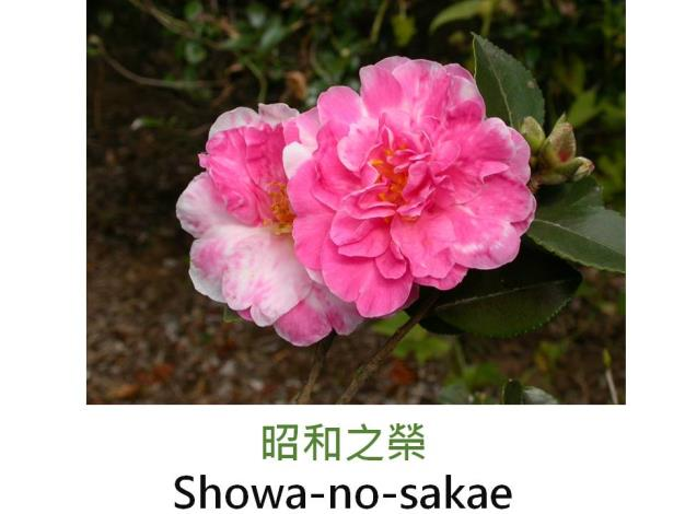 昭和之榮Showa-no-sakae.JPG