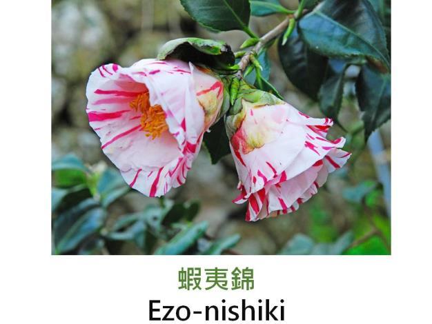 蝦夷錦Ezo-nishiki.JPG