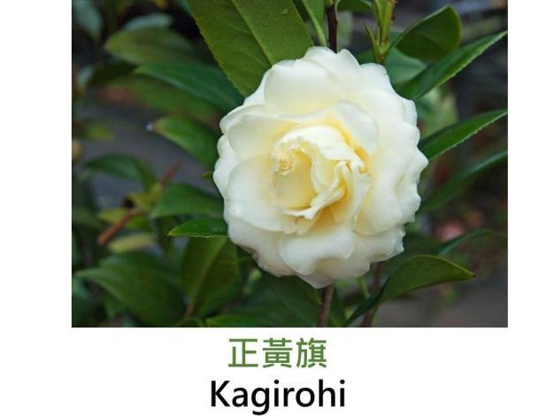 正黃旗Kagirohi.JPG