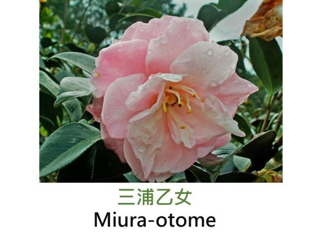 三浦乙女Miura-otome.JPG