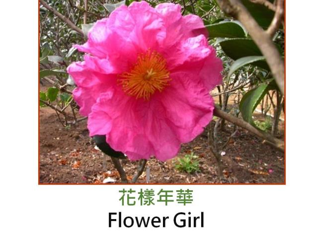 花樣年華Flower Girl.JPG
