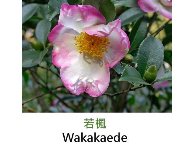若楓Wakakaede.JPG