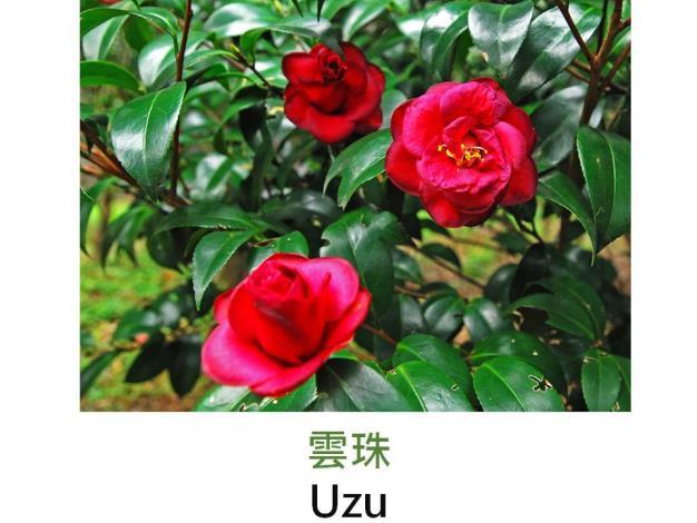 雲珠Uzu.JPG