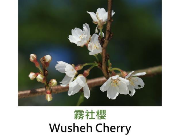 霧社櫻 Wusheh Cherry.JPG