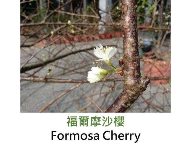福爾摩沙櫻 Formosa Cherry.JPG