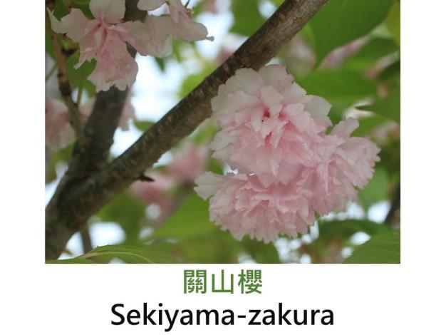 關山櫻 Sekiyama-zakura.JPG