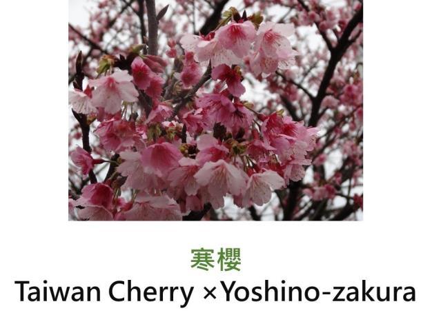 寒櫻 Taiwan Cherry ×Yoshino-zakura.JPG