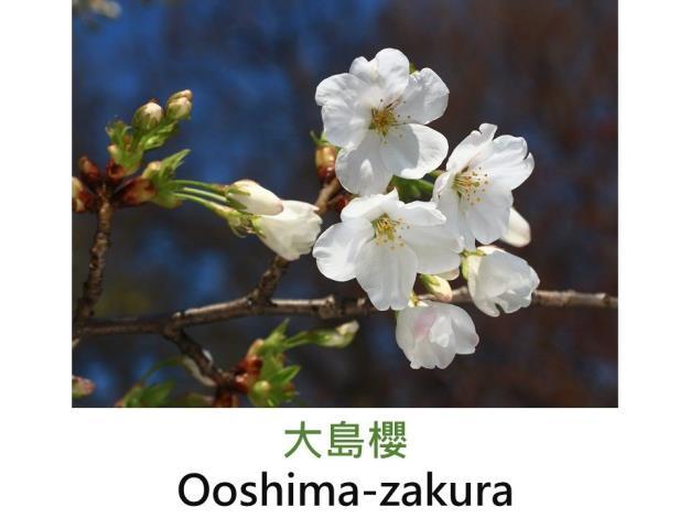 大島櫻 Ooshima-zakura.JPG