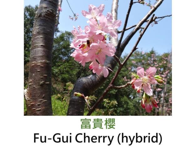 富貴櫻Fu-Gui Cherry (hybrid).JPG