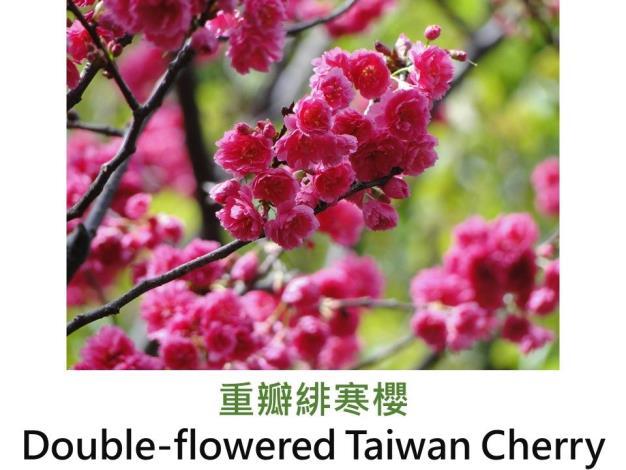 重瓣緋寒櫻Double-flowered Taiwan Cherry.JPG