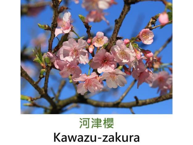 河津櫻 Kawazu-zakura.JPG