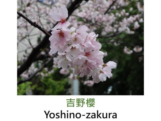 吉野櫻 Yoshino-zakura.JPG