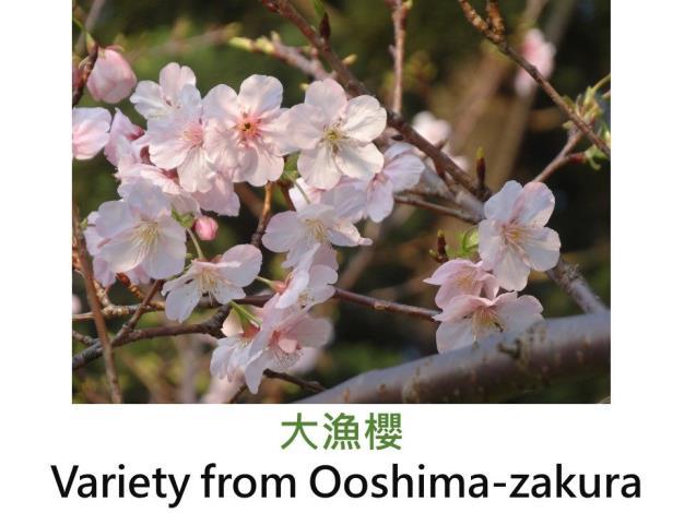 大漁櫻Variety from Ooshima-zakura.JPG