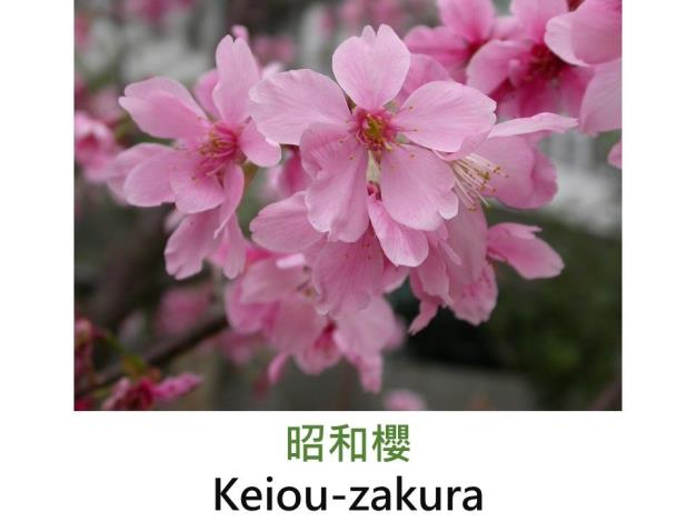 昭和櫻 Keiou-zakura