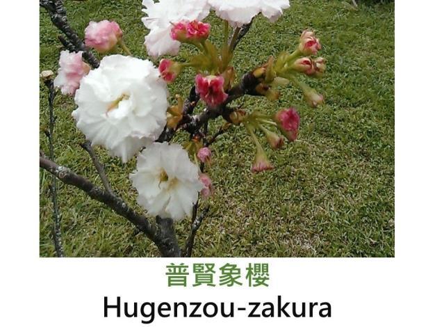 普賢象櫻 Hugenzou-zakura.JPG