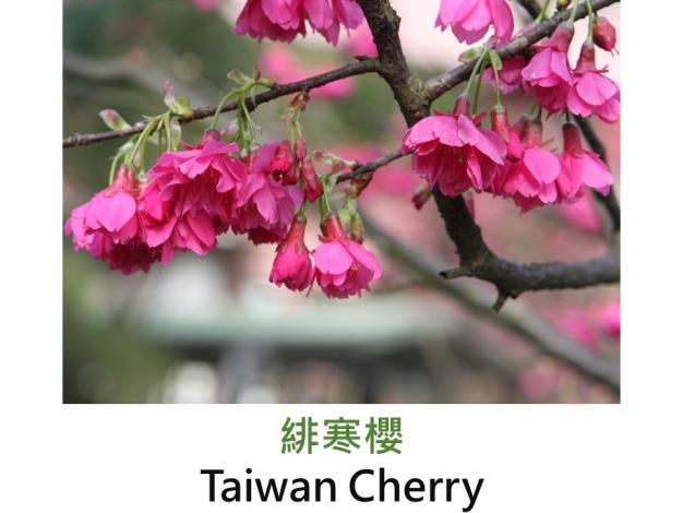 緋寒櫻 Taiwan Cherry.JPG