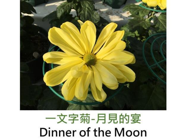 一文字菊-月見的宴.JPG