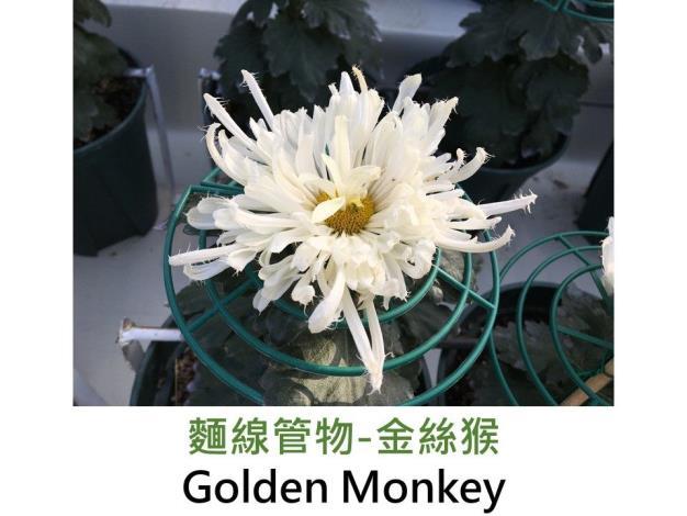 麵線管物-金絲猴.JPG