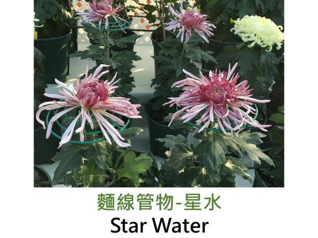 麵線管物-星水.JPG