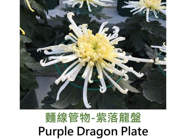 麵線管物-紫落龍盤.JPG