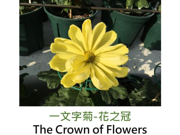 一文字菊-花之冠.JPG