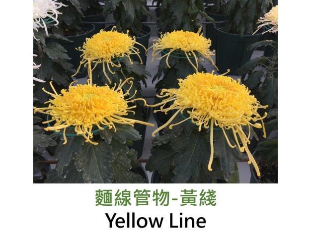 麵線管物-黃綫.JPG