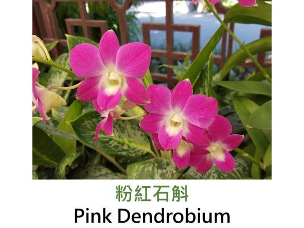 粉紅石斛.JPG