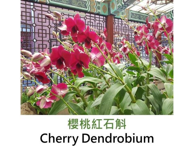 櫻桃紅石斛.JPG