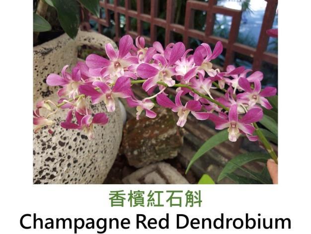 香檳紅石斛.JPG
