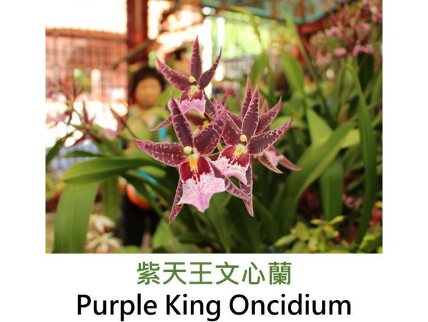 紫天王文心蘭.JPG