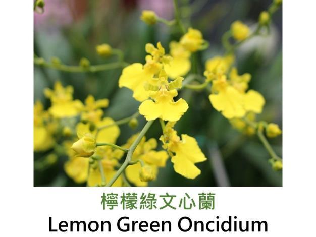 檸檬綠文心蘭.JPG