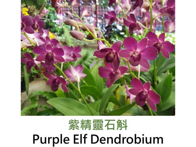 紫精靈石斛.JPG